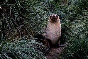 Seebär auf den Falklandinseln