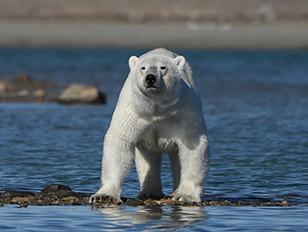 Eisbär in der Bello-Strait