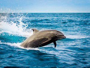 Galapagos-Delphin