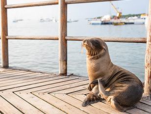 Galapagos - Seeloewe am Pier