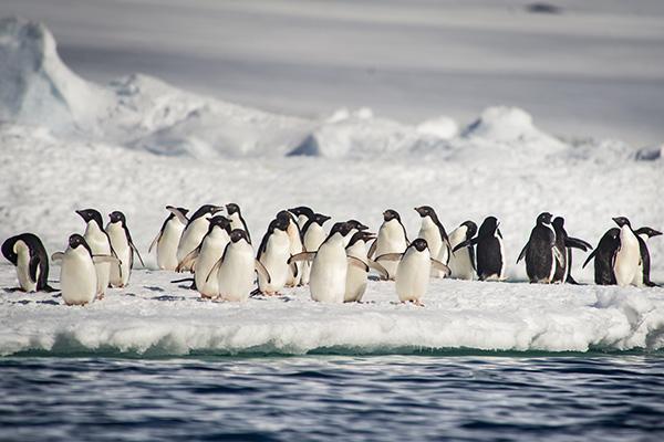Adelie-Pinguine_Ponant
