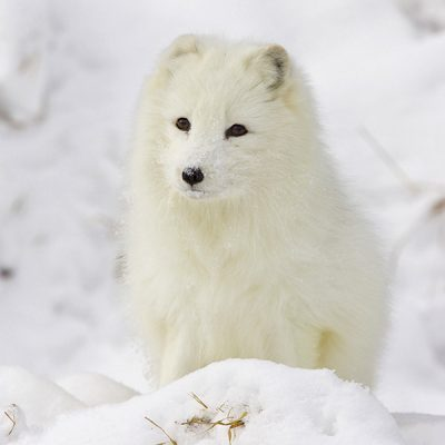 Polarfuchs-Tiere-PT