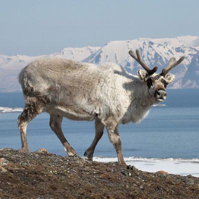 Spitzbergen-Rentier-Tiere-PT
