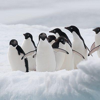 adelie-pinguine-pt