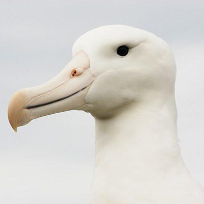 albatross-pt