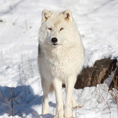 polarwolf-pt